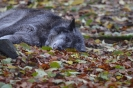 Timberwolf im Herbst