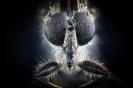 Stechmücke